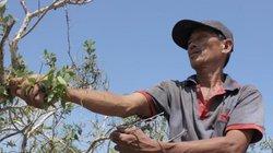 Nguy hiểm, cheo leo như nghề trèo cây tràm gió hái lá ở Quảng Trị
