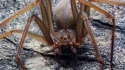 Loại nhện cực độc, chỉ một vết cắn nhỏ cũng đủ làm thịt thối rữa