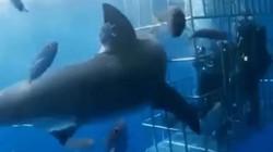Cá mập khổng lồ húc đầu vào lồng sắt tấn công thợ lặn và cái kết đắng ngắt