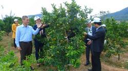 Giúp nông dân tăng thu nhập từ cam Canh, mua phân bón trả chậm