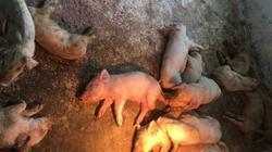 Điêu đứng vì mua phải lợn giống nghi nhiễm dịch tả của Mavin?