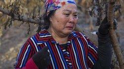Hưng Yên: Người dân xót xa khi nhiều vườn cây ăn quả bị đốt trộm