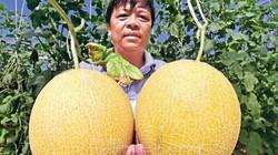 Đất Cà Mau cứ nói nhiễm mặn, nhưng trồng dưa lưới trái to thế này