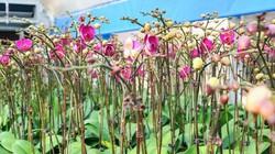 """Chưa Tết, 60% hoa trong vựa lan khủng nhất nhì miền Bắc đã """"có chủ"""""""