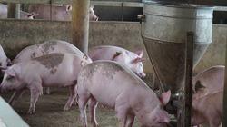 Bộ NNPTNT báo cáo khẩn Thủ tướng về nguồn cung thịt lợn