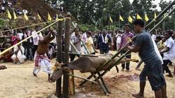 Ấn Độ: Trâu bị kéo thẳng 4 chân, chặt đầu dâng lên nữ thần chiến tranh