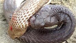 1 mình rắn hổ mang bạch tạng đại chiến 3 rắn hổ mang chúa
