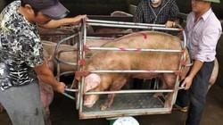 """Giá heo hơi hôm nay 22/12: Mỗi nơi 1 giá, ai có lợn như có """"hũ vàng"""""""