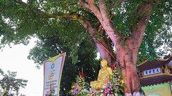 """Cận cảnh cây bồ đề đến từ """"đất Phật"""" tại ngôi chùa cổ nhất Hà Nội"""