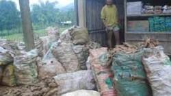 TT-Huế: Nông dân hoang mang vì 60.000 tấn sắn bị tồn đọng