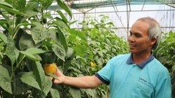 Ở đây, dân trồng giống ớt trái bự thế này, thu 2 tỷ mỗi năm