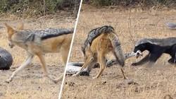 """Lửng mật """"giằng co"""" trăn khổng lồ với chó rừng và cái kết kịch tính"""