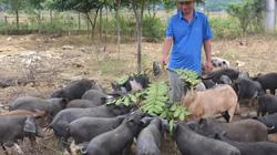 Nghệ An: Giá lợn đen bản địa lên 150.000 đồng/kg, Tết còn tăng nữa