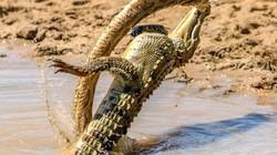 Cá sấu có màn đụng độ kịch liệt mãng xà và chiến quả khó tin