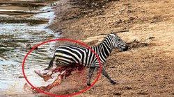 Ngựa vằn bơi qua sông, lên tới bờ thì ruột xổ ra ngoài