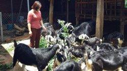 Thời buổi lợn, gà, cá rủ nhau tăng giá, dân ở đây nuôi dê càng khá