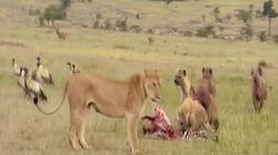 Video: Sư tử cái bị đàn linh cẩu dọa dẫm và kết cục khi sư tử đực xuất hiện