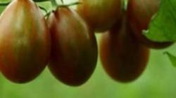Việt Nam trồng loại quả có tên sô cô la, chỉ to bằng quả chanh mà giá cả trăm nghìn/kg