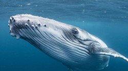 Cá voi tiến hóa to hơn gấp 10.000 lần từ loài 4 chân như chó, và vẫn chưa dừng lại