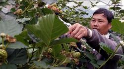 Trồng cây rậm rạp, trái chín đen, ăn khỏe người, lời 45 triệu/tháng