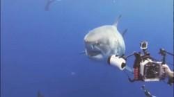 Video: Cá mập trắng khổng lồ lừ lừ tiến về phía thợ lặn và diễn biến bất ngờ sau đó
