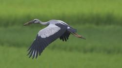 Chim to quý hiếm bay rợp cánh đồng Mường Thanh là loài gì?