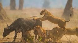 """Sư tử """"hạ sát"""" trâu đực gần 700kg kiếm thức ăn cho cả đàn"""