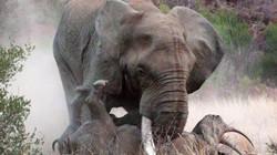 """Voi châu Phi hung dữ """"bắt nạt"""" hai mẹ con tê giác"""