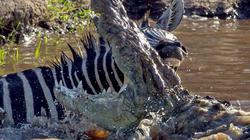Ngựa vằn vùng vẫy thoát hàm cá sấu trong gang tấc