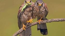 """Cảm động """"món quà cầu hôn"""" của chim ưng và ảnh động vật ấn tượng 2019"""