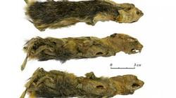 Đi dạo bờ sông, phát hiện xác ướp sinh vật 41.000 năm tuổi nguyên vẹn đến hoàn hảo