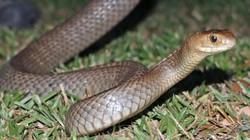 Nhìn tưởng lành nhưng bị loài rắn này cắn sẽ tử vong sau 15 phút