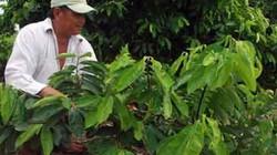 Cà Mau: Trồng mãng cầu ghép gốc bình bát, có trái bán quanh năm