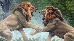 Cận cảnh hỗn chiến của sư tử trong vườn thú