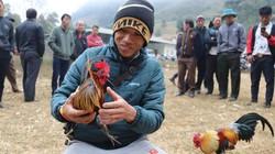 Bí quyết của người Mông xem tướng loài gà rừng chọi cực đỉnh