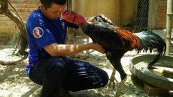 8X xứ Nẫu nuôi gà chọi, vừa nuôi, vừa chơi mỗi tháng lời 10 triệu