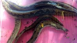 """Trai Đồng Tháp nuôi loài cá ví như """"sâm nước"""", bán 350 ngàn/ký"""