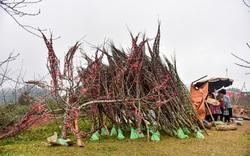 Thương nhớ đào rừng - Bài 3: Thống kê diện tích trồng đào của dân