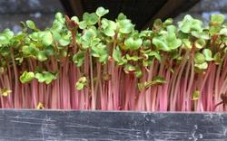 Tiêu chí để chọn giống và giá thể trồng rau mầm
