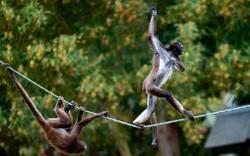 Khỉ đi bộ trên dây và những bức ảnh động vật ấn tượng tuần qua