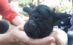 Chú cừu đột biến nổi tiếng thế giới với một mắt ở giữa trán
