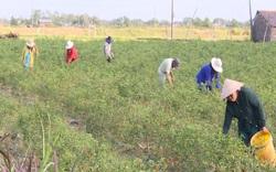 Trà Vinh: Mô hình HTX sản xuất nông nghiệp theo hướng  canh tác thông minh, đạt hiệu quả lớn