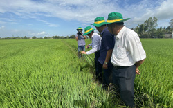 """Cũng là trồng lúa, nông dân ở đây bắt lúa """"ăn"""" ít phân, ít thuốc BVTV, lợi nhuận tăng tới 6,7 triệu đồng/ha"""
