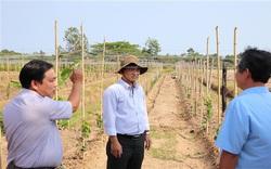 Trà Vinh đang trồng thử nghiệm giống nho gì của tỉnh Ninh Thuận, ăn tươi hay làm rượu vang?