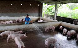 Video: Giá lợn hơi giảm mạnh, người chăn nuôi nhỏ lẻ thua lỗ e ngại tái đàn
