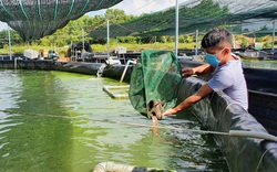 Tây Ninh: Nuôi cá chạch lấu công nghệ cao dày đặc trong bể lót bạt, mới bán 2 tấn nông dân đã thu 500 triệu