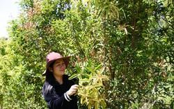 Lâm Đồng: Bỏ lương cao, bỏ thủ đô vào Tây nguyên sưu tầm, trồng 40 loài trà hoa vàng quý hiếm