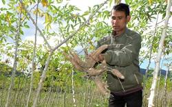 Trung Quốc giảm mua sắn Việt Nam, tăng mua sắn Thái Lan dù giá cao hơn