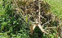 Bình Thuận: 60 cây sầu riêng bị chặt phá không thương tiếc, công an vào cuộc điều tra
