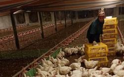 Giá gia cầm hôm nay 3/10: Giá gà công nghiệp, giá vịt thịt tăng nhẹ, khan hàng